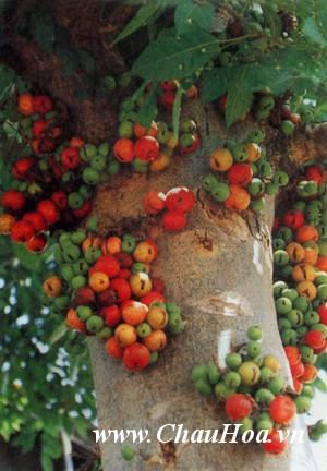Cây xanh bonsai sung cho ra trái đẹp