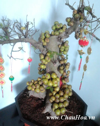Sung một loại cây xanh bonsai dễ tính không đòi hỏi chăm sóc đặc biệt