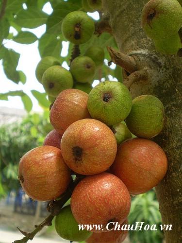Cây sung nếp là loại cây xanh bonsai được ưa thích hơn vì chùm quả của nó rất nhiều quả và kích thước quả không quá lớn .