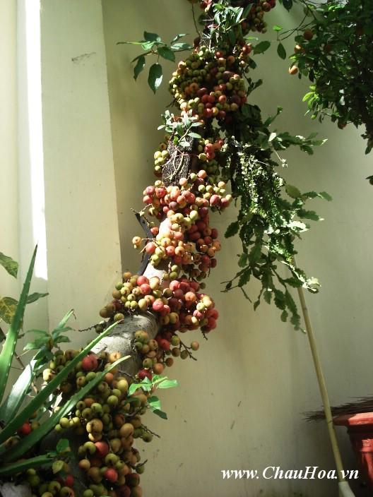 Không nên cắt hết các tai của cây xanh bonsai này sau mỗi đợt ra trái vì như vậy sẽ làm xấu cây