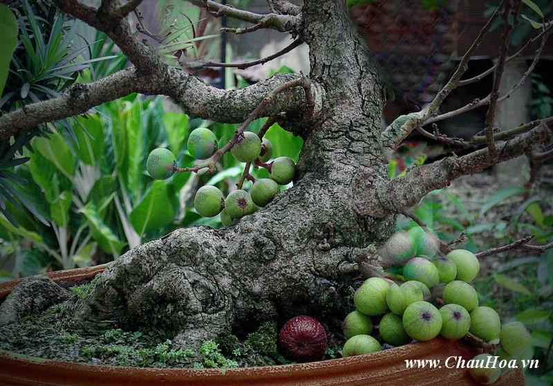 Sung là một trong những loại cây xanh bonsai có thân gỗ lâu năm