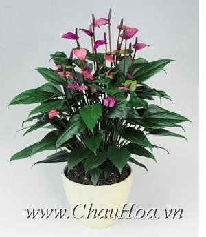 Chậu hoa đẹp hồng môn được xem là trái tim Hawaii