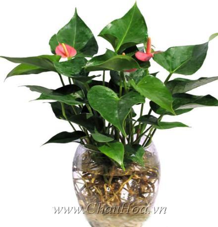 Bí quyết trồng và chăm sóc chậu hoa đẹp hồng môn