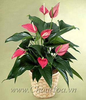 Chậu hoa đẹp hồng môn sẽ phát triển tốt khi được chăm sóc cẩn thận