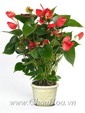 Chậu hoa đẹp hồng môn có khả năng sống lâu
