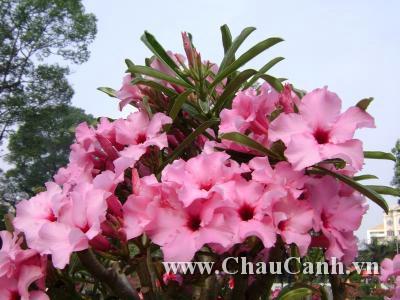 Những Chậu hoa sứ ngày tết cho không khí tràn ngập nắng xuân